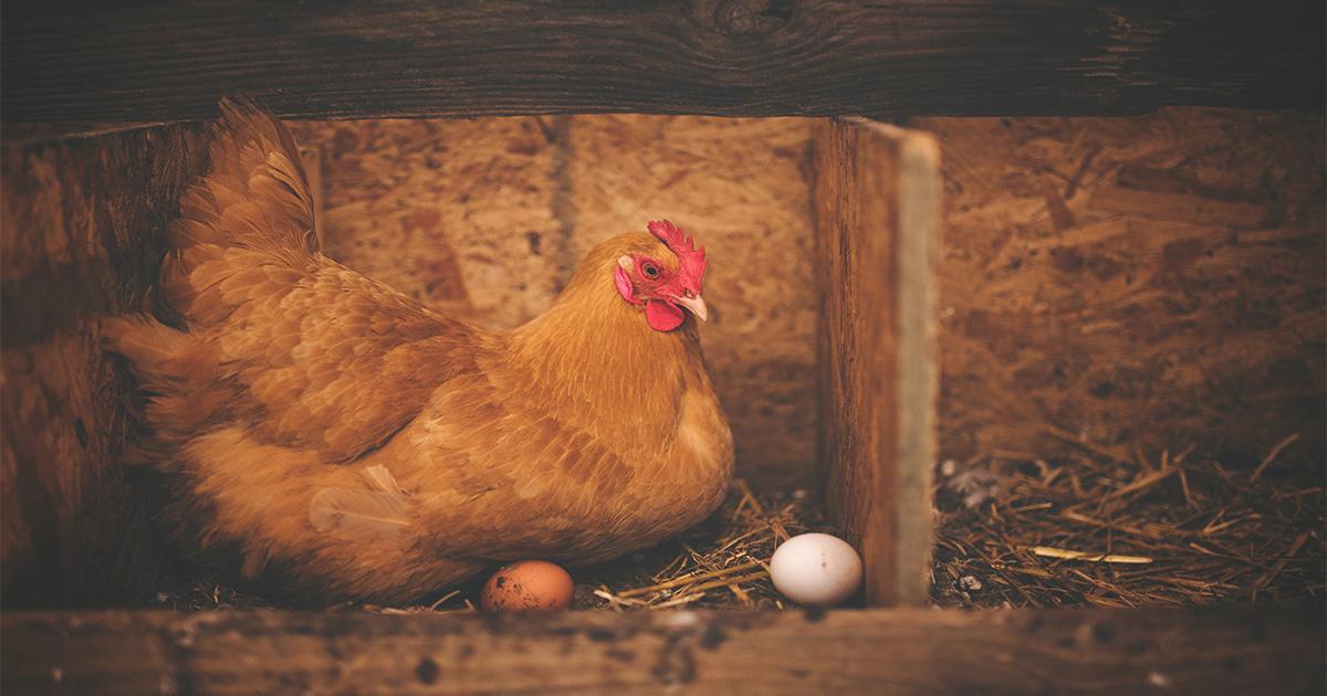 traitement poux rouges des poules