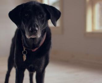 chien âgé vieillissant